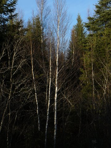 birches in the Maine woods